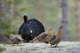 Capercaillie (Tetrao Urogallus) Cock Displaying to Three Females in Forest, Bergslagen, Sweden Photographic Print by E. Haarberg