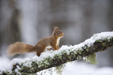Red Squirrel (Sciurus Vulgaris) on Branch in Snow, Glenfeshie, Cairngorms National Park, Scotland Photographic Print by  Cairns