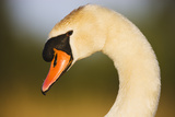 Mute Swan (Cygnus Olor) Profile of Head, Pont Du Gau, Camargue, France, April 2009 Photographic Print by  Allofs