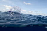Portuguese Man-Of-War (Physalia Physalis) on the Water Surface, Pico, Azores, Portugal, June 2009 Photographic Print by  Lundgren