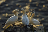 Northern Gannet (Morus Bassanus) Colony, Courtship, Seabird Cliff, Langanes Peninsula, Iceland Photographie par O. Haarberg