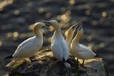 Northern Gannet (Morus Bassanus) Colony, Courtship, Seabird Cliff, Langanes Peninsula, Iceland Photographie par O. Haarberg