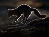 Arctic Fox (Vulpes Lagopus) Silhouetted While Jumping, Disko Bay, Greenland, August 2009 Photographic Print by  Jensen