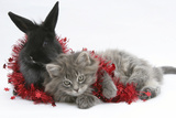 Maine Coon Kitten, 8 Weeks, and Black Baby Dutch X Lionhead Rabbit with Red Christmas Tinsel Photographic Print by Mark Taylor