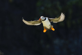 Atlantic Puffin (Fratercula Arctica) in Flight, Summer, Backlit, Isle of Lunga, Inner Hebrides, UK Photographic Print by Chris Gomersall