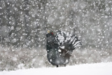 Capercaillie (Tetrao Urogallus) Male Displaying in Heavy Snowfall, Cairngorms Np, Scotland Photographic Print by  Cairns