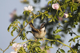 Tree Sparrow (Passer Montanus) Displaying in Rose Bush, Slovakia, Europe, May 2009 Photographie par  Wothe