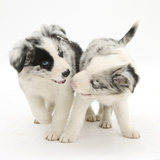 Playful Border Collie Puppies, 6 Weeks Fotografisk tryk af Mark Taylor
