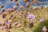 Thrift (Armeria Pungens) Flowers, Alentejo, South West Alentejano and Costa Vicentina, Portugal Photographic Print by  Quinta