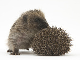 Two Young Hedgehogs (Erinaceus Europaeus) One Standing, One Rolled into a Ball Photographic Print by Mark Taylor