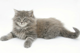 Maine Coon Kitten, 8 Weeks Photographic Print by Mark Taylor