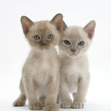 Two Burmese Kittens, 7 Weeks Photographic Print by Mark Taylor