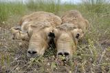 Two Newborn Saiga Antelope (Saiga Tatarica) Calves Lying Down, Cherniye Zemli Nr Kalmykia, Russia Photographic Print by  Shpilenok