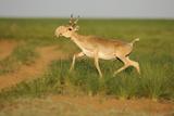 Male Saiga Antelope (Saiga Tatarica) Running, Cherniye Zemli (Black Earth) Nr, Kalmykia, Russia Photographic Print by  Shpilenok