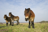 Exmoor Ponies (Equus Caballus), the Ponies are Used to Manage Grassland on Heath, Suffolk, UK Photographic Print by David Tipling