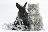 Maine Coon Kitten, 8 Weeks Old, and Black Baby Dutch X Lionhead Rabbit with Christmas Tinsel Photographic Print by Mark Taylor
