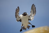 Razorbill (Aalca Torda) Landing on Rock, Saltee Islands, County Wexford, Ireland, June 2009 Photographie par  Hermansen