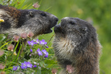 Alpine Marmots (Marmota Marmota) Feeding on Flowers, Hohe Tauern National Park, Austria Photographic Print by  Lesniewski
