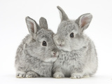 Two Baby Silver Rabbits Photographie par Mark Taylor