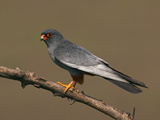 Red-Footed Falcon (Falco Vespertinus) Male Perched, Hortobagy Np, Hungary, May 2008 Photographic Print by  Varesvuo