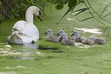 Mute Swan (Cygnus Olor) Adult with Cygnets on Water, Woodwalton Fen, Cambridgeshire, UK, June Photographic Print by David Tipling