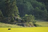 Female European Moose (Alces Alces) in Flowering Field, Elk, Morko, Sormland, Sweden, July 2009 Photographic Print by  Widstrand