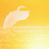 Great Egret (Ardea Alba) Landing at Sunrise, Elbe Biosphere Reserve, Lower Saxony, Germany Photographic Print by  Damschen