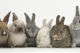 Six Baby Rabbits in Line Reproduction photographique par Mark Taylor