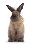 Lionhead-Cross Rabbit Standing Photographic Print by Mark Taylor