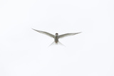 Arctic Tern (Sterna Paradisaea) Against White Sky, Farne Islands, Northumberland, England, UK, July Photographic Print by Peter Cairns