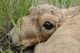Newborn Saiga Antelope (Saiga Tatarica) Lying in Grass, Cherniye Zemli Nr, Kalmykia, Russia Photographic Print by  Shpilenok