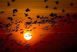 Barnacle Goose (Branta Leucopsis) Flock in Flight at Sunset, Westerhever, Germany, April 2009 Photographic Print by  Novák
