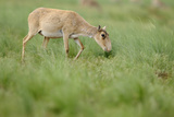 Female Saiga Antelope (Saiga Tatarica) Grazing, Cherniye Zemli Nature Reserve, Kalmykia, Russia Photographic Print by  Shpilenok