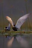 Whiskered Tern (Chlidonias Hybrida) Pair on Nest, One Stetching Wings, Lake Skadar Np, Montenegro Reproduction photographique par  Radisics