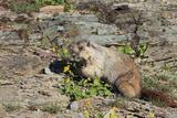 Hoary Marmot (Marmota Caligata) Eating Flowers, Glacier Np, Montana, USA Photographic Print by Mark Taylor