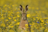 European Hare (Lepus Europaeus) in Set Aside Field Seeded with Corn Marigolds, Norfolk, England, UK Photographic Print by David Tipling