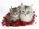 Main Coon Cat, Bambi, and Kitten, Goliath, with Christmas Decorations, Tinsel Photographic Print by Mark Taylor