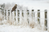 Short-Eared Owl (Asio Flammeus) Perched on a Fence Post, Worlaby Carr, Lincolnshire, England, UK Photographie par Danny Green