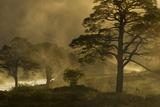 Scot's Pine Trees (Pinus Sylvestris) in Mist at Sunrise, Beinn Eighe Nnr, Torridon, Nw Scotland Photographic Print by Mark Hamblin