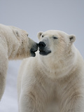 Two Polar Bears (Ursus Maritimus) Interacting, Svalbard, Norway, September 2009 Photographic Print by  Cairns