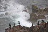 Shags (Phalacrocorax Aristotelis) on Coastal Cliff, Saltee Islands, County Wexford, Ireland Photographie par  Hermansen