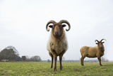 Manx Loaghtan Sheep (Ovis Aries) Grazing Grassland on Minsmere Rspb Reserve, Suffolk, UK Photographic Print by David Tipling