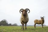 Manx Loaghtan Sheep (Ovis Aries) Grazing Grassland on Minsmere Rspb Reserve, Suffolk, UK Photographic Print by David Tipling