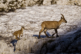 Ibex (Capra Ibex) Female with Young Running to Keep Up, Triglav Np, Julian Alps, Slovenia, July Photographic Print by  Zupanc