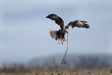Marsh Harrier (Circus Cyaneus) Female in Flight Carrying Nest Material, Fens, East Anglia, UK Photographic Print by David Tipling