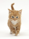 Ginger Kitten Photographic Print by Mark Taylor