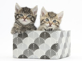 Cute Tabby Kittens, Stanley and Fosset, 6 Weeks, in a Decorative Cardboard Box Photographic Print by Mark Taylor