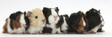 Six Young Guinea Pigs in a Row Fotografisk tryk af Mark Taylor
