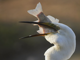 Great Egret (Ardea Alba) Swallowing Large Fish, Pusztaszer, Hungary, May 2008 Photographic Print by  Varesvuo