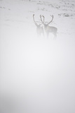 Two Reindeer (Rangifer Tarandus) in Snow Mist, Forollhogna National Park, Norway, September 2008 Photographic Print by  Munier